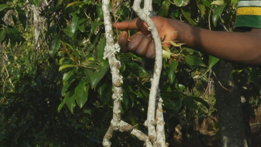 Khat producers left high and dry after UK ban – Channel 4 News